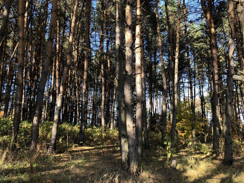 Paysage un jour ensoleillé d'automne : clairière et pins sur un terrain accidenté image stock