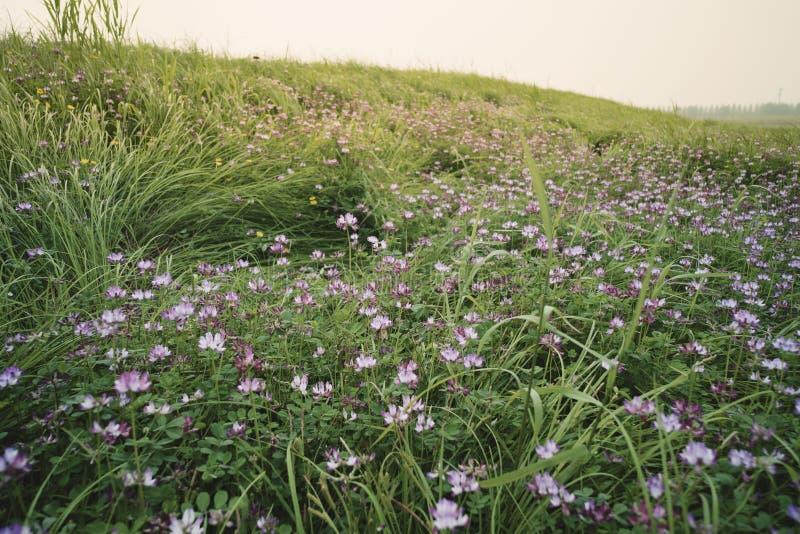 Paysage : Une belle pente d'herbe couverte de luzerne fleurit photo stock
