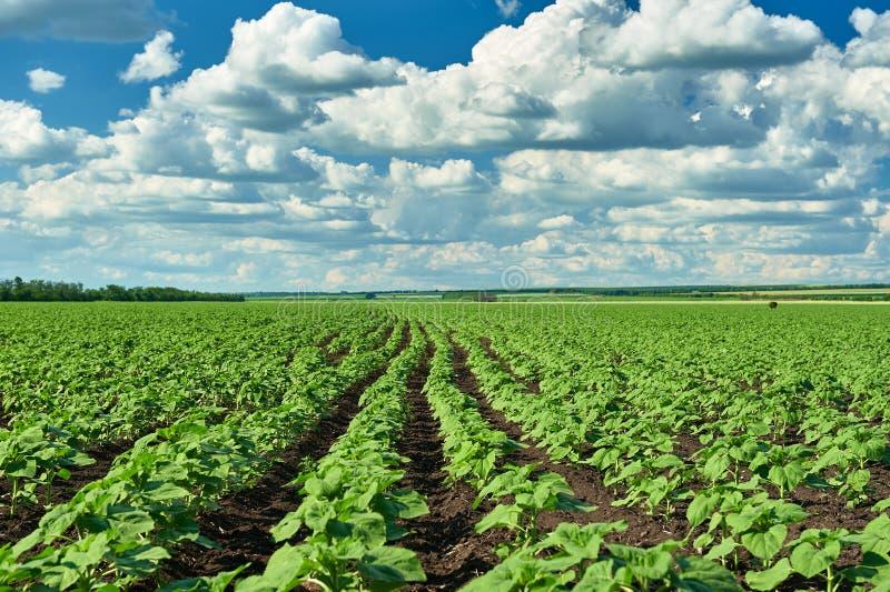 Paysage végétal d'été de champ et de ciel photo stock