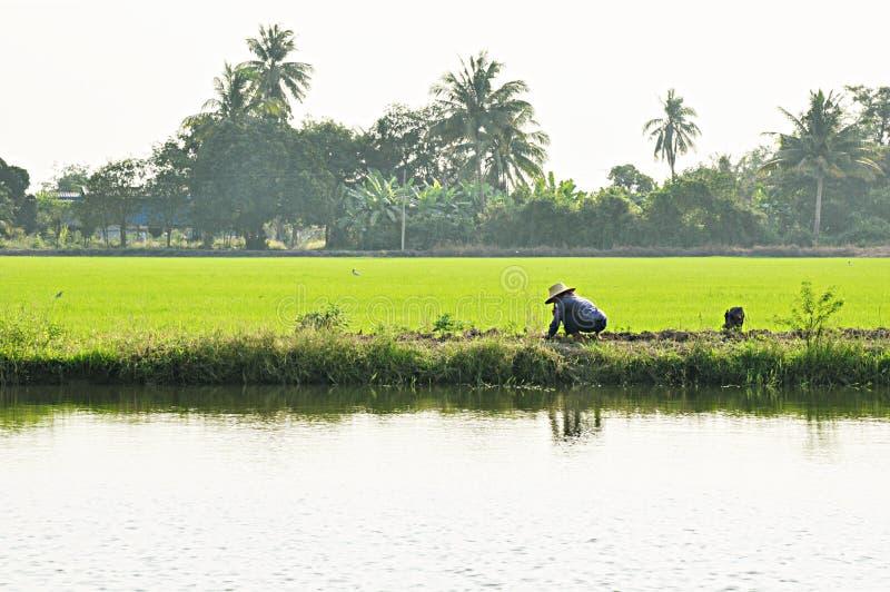 Paysage vert de gisement de riz avec un agriculteur photographie stock libre de droits
