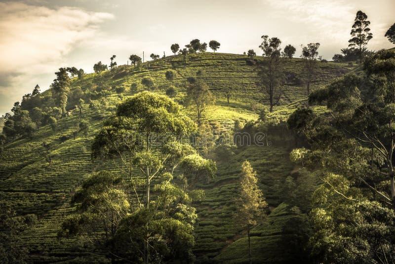 Paysage vibrant de coucher du soleil d'arbres de gisements de colline de plantations de thé dans des environs de Sri Lanka Nuwara images stock