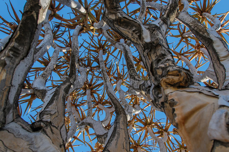 Paysages africains - forêt Namibie d'arbre de tremblement images libres de droits
