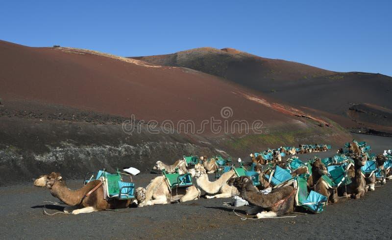 Paysages volcaniques de Lanzarote avec des chameaux photo libre de droits