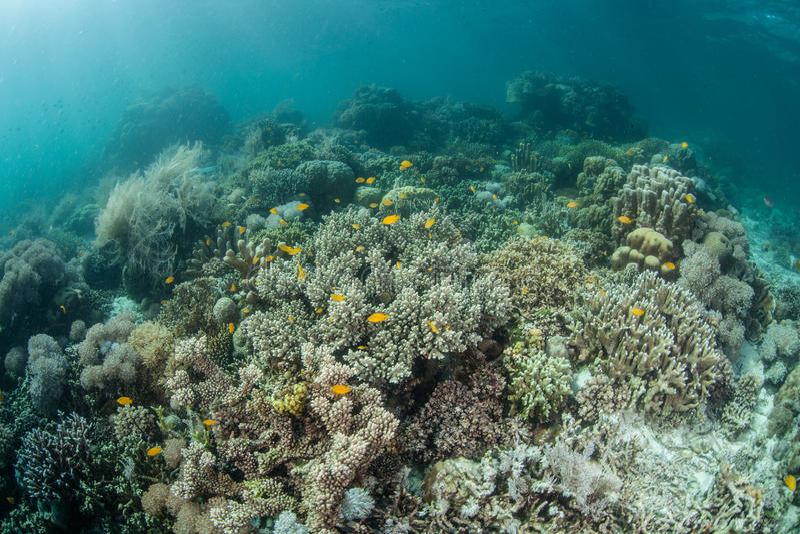 Pazifische Korallen stockbild