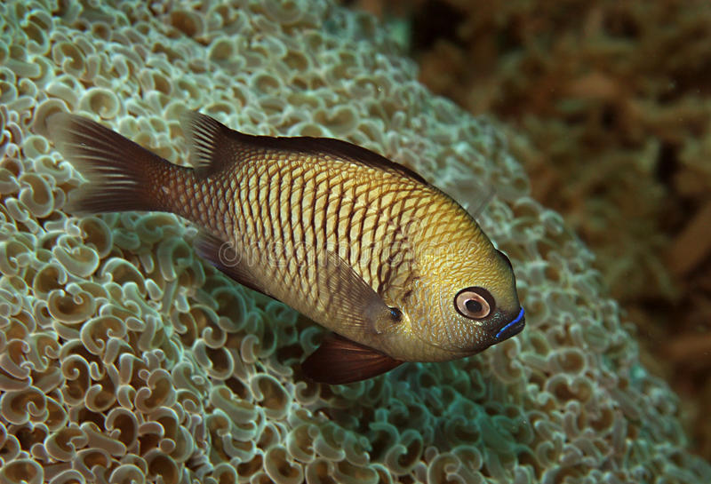 Pazifischer Gregorydamselfish stockfotografie