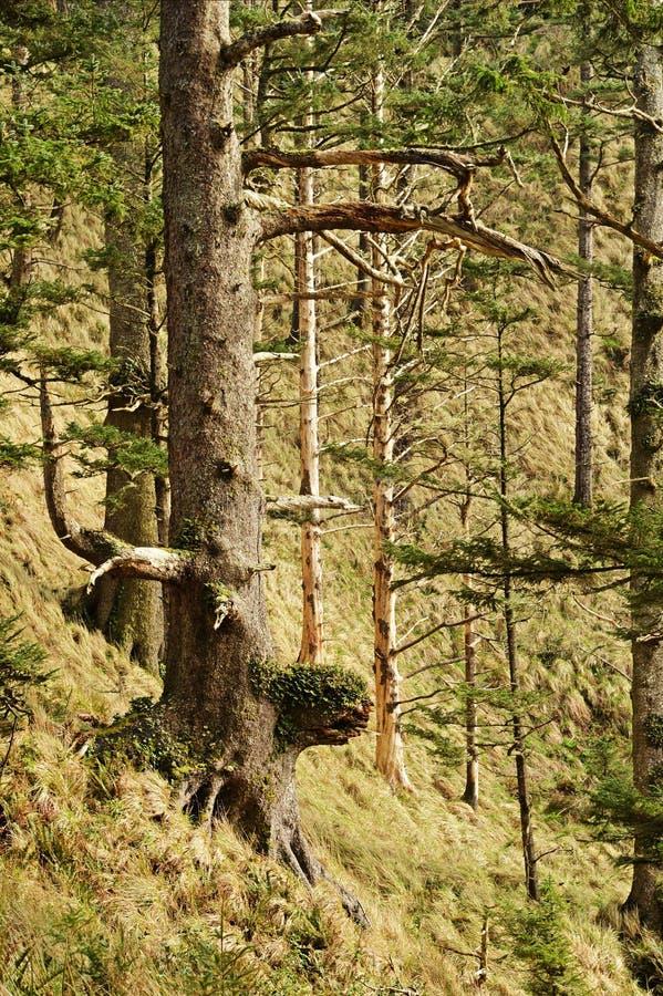 Pazifischer Nordwestregen-Wald stockfoto