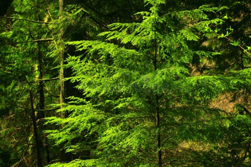 Pazifischer Nordwestwald mit einem Douglasiebaum lizenzfreies stockbild