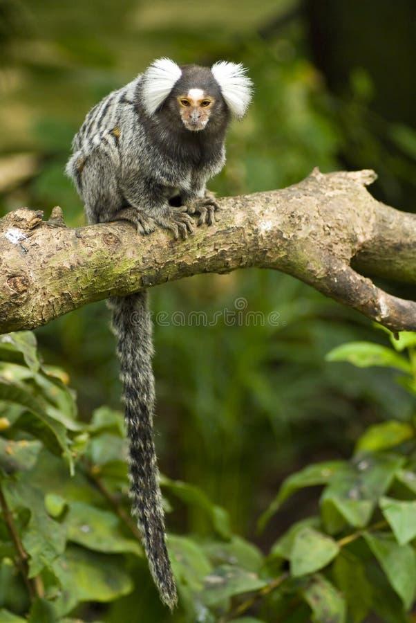 pazurczatki gałęziasta małpa obraz royalty free
