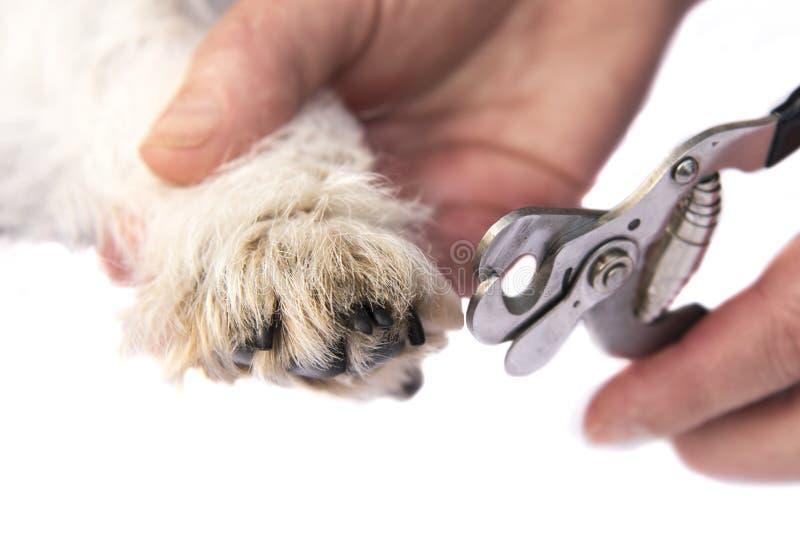 Pazury cią Jack Russell Terrier psem z bliska zdjęcia royalty free