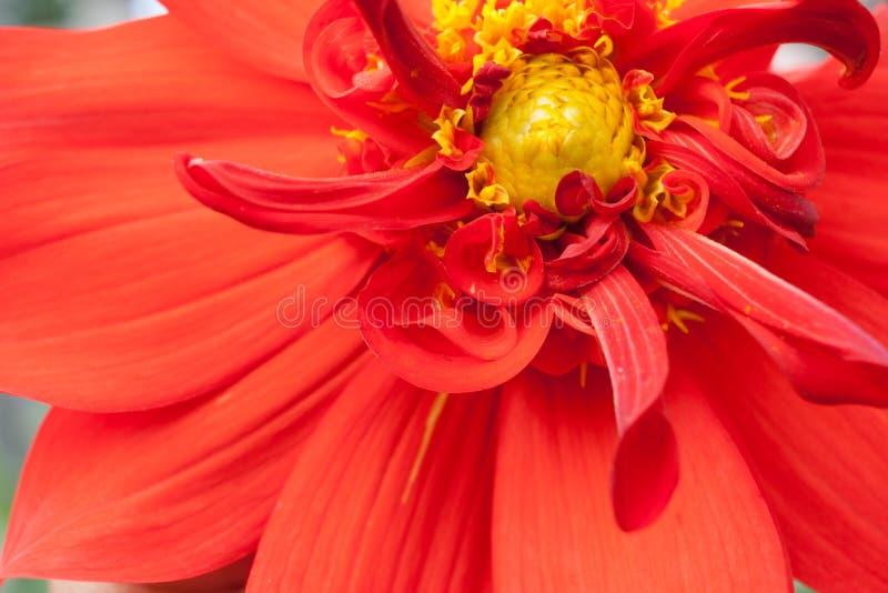 Peça do close-up da flor da dália vermelha com meio amarelo foto de stock royalty free
