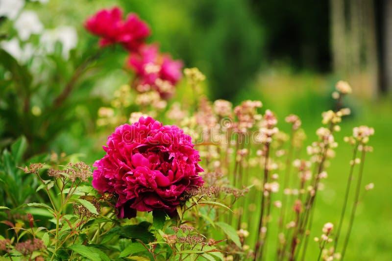 Peônia carmesim que floresce no jardim da mola com os heucheras no fundo imagem de stock