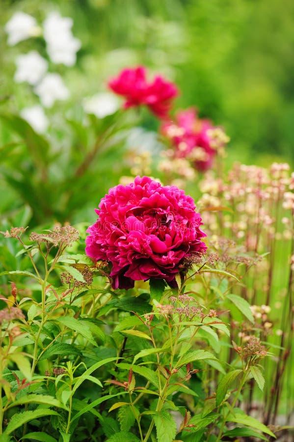 Peônia carmesim que floresce no jardim da mola com os heucheras no fundo foto de stock royalty free
