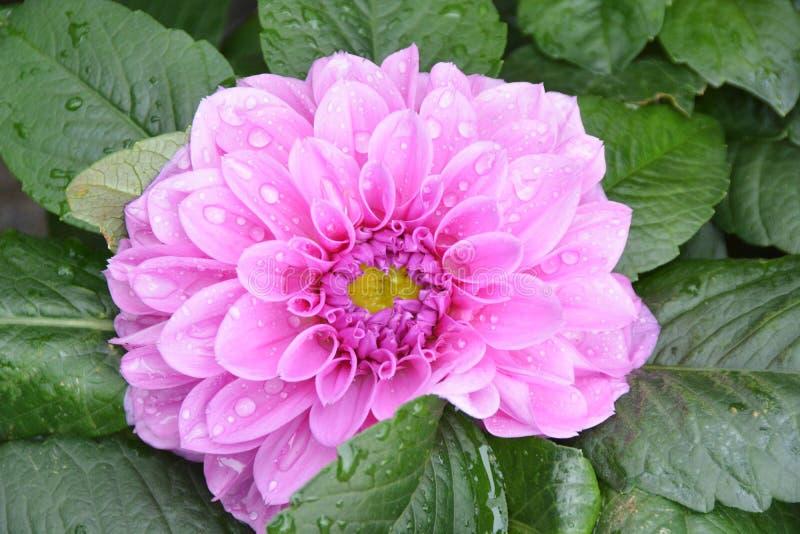 Peônia chinesa cor-de-rosa foto de stock