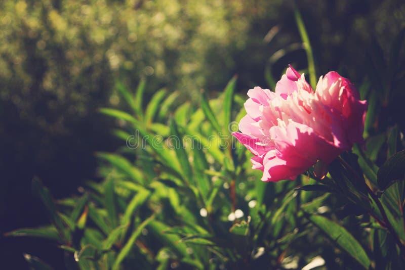 Peônia com pétalas cor-de-rosa em um fundo das hortaliças no jardim fotos de stock