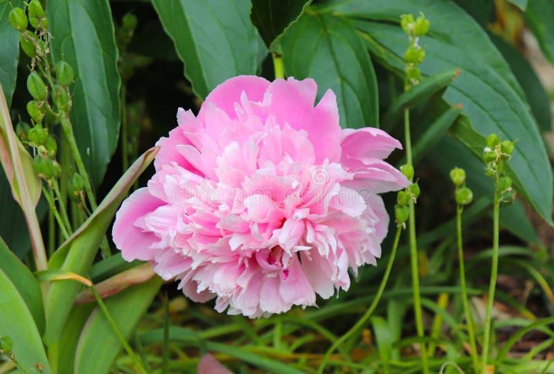 A peônia cor-de-rosa chega no jardim da mola foto de stock royalty free