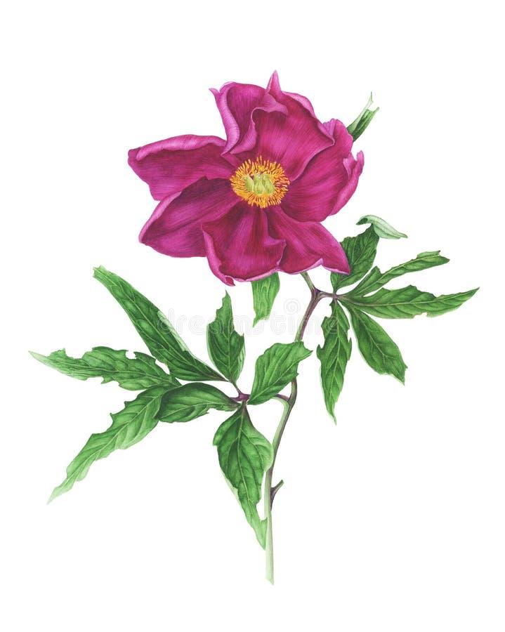 Peônia cor-de-rosa com folhas ilustração do vetor
