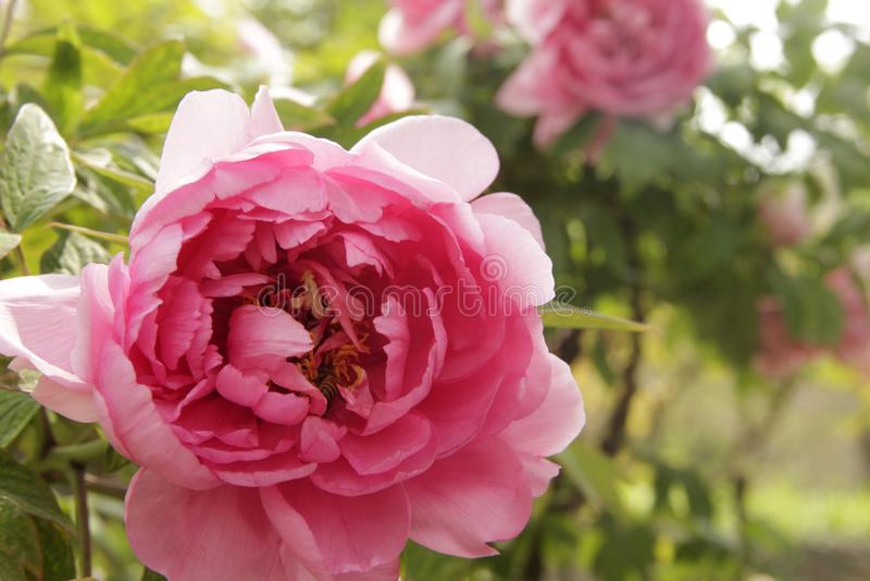 Peônia cor-de-rosa da porcelana de luoyang foto de stock royalty free