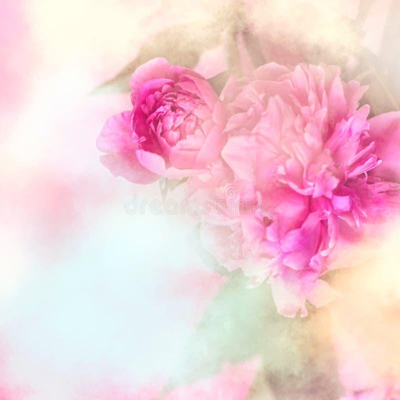 A peônia cor-de-rosa floresce o fundo com quadro branco; vagabundos florais/nupciais imagens de stock