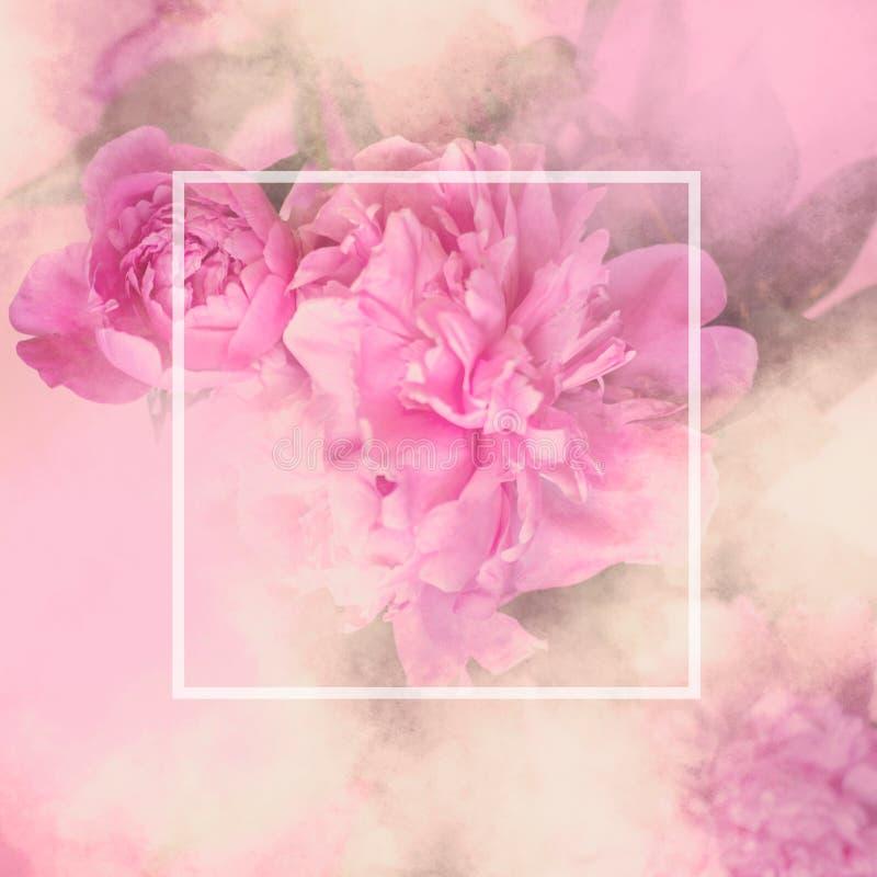 A peônia cor-de-rosa floresce o vale-oferta quadrado com o sp branco do quadro e da cópia fotos de stock