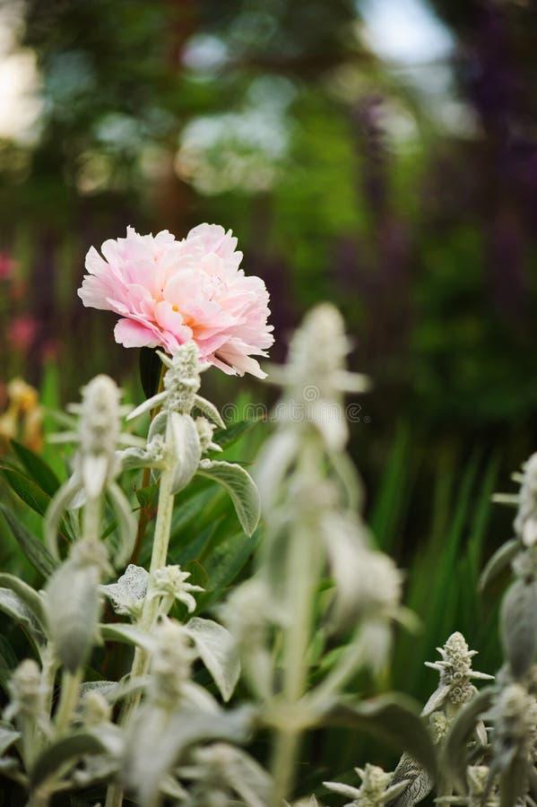Peônia cor-de-rosa que floresce no jardim da mola, plantado em beira misturada foto de stock