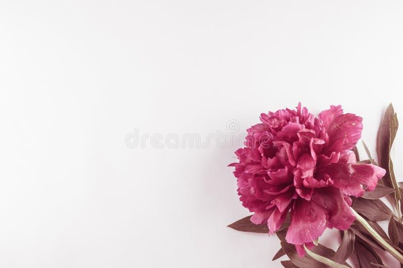 Peônia de Borgonha em um fundo branco Fundo da foto Foto tonificada imagem de stock