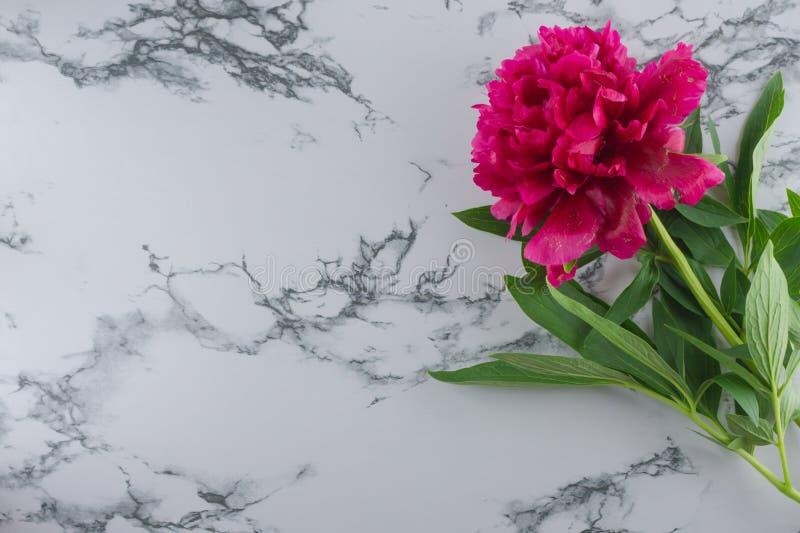 Peônia de Borgonha em um fundo de mármore Fundo da foto imagem de stock royalty free