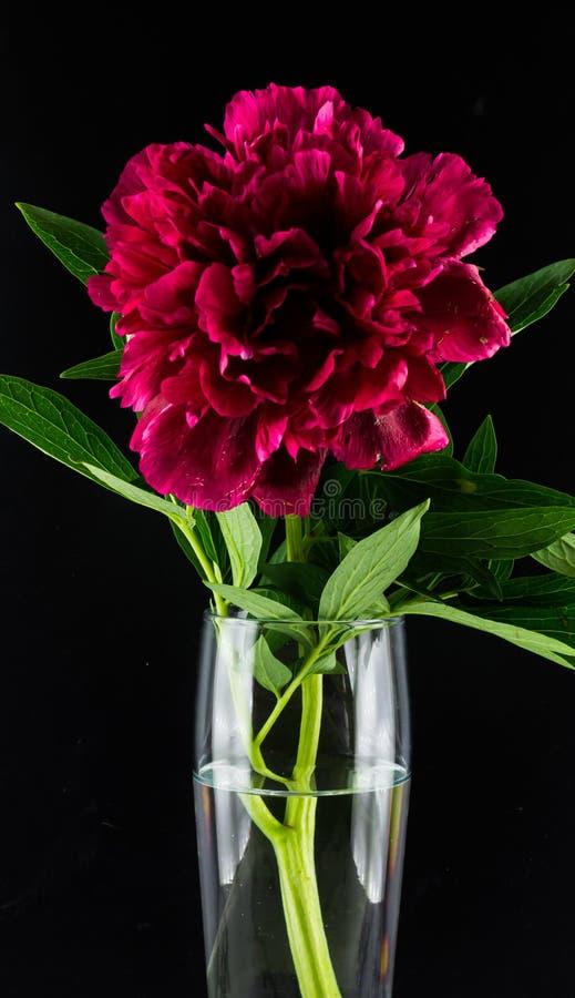 Peônia de Borgonha em um vaso de vidro em um fundo preto imagens de stock royalty free