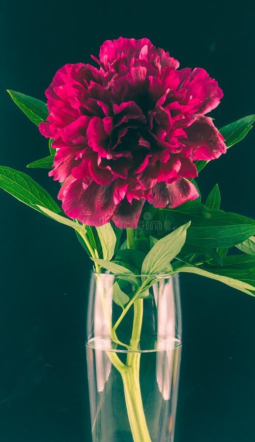Peônia de Borgonha em um vaso de vidro em um fundo preto Foto tonificada foto de stock royalty free