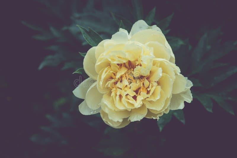 Peônias amarelas que florescem no jardim imagens de stock royalty free