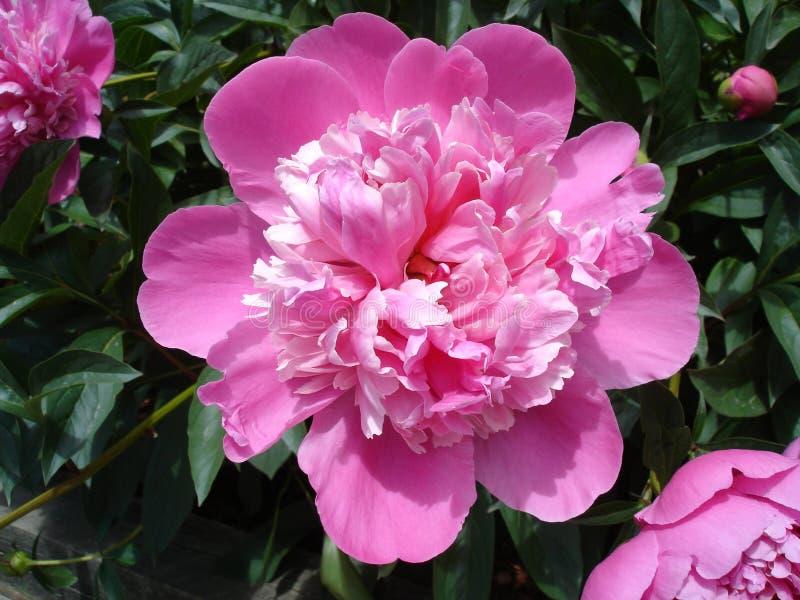 Peônias cor-de-rosa imagens de stock