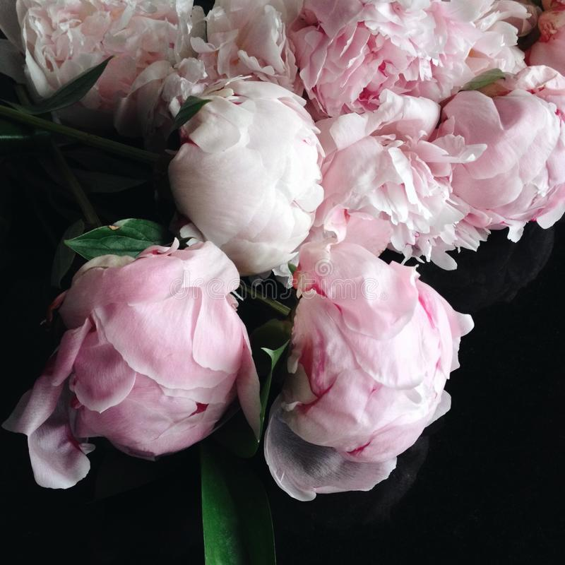 Peônias cor-de-rosa na flor completa fotos de stock