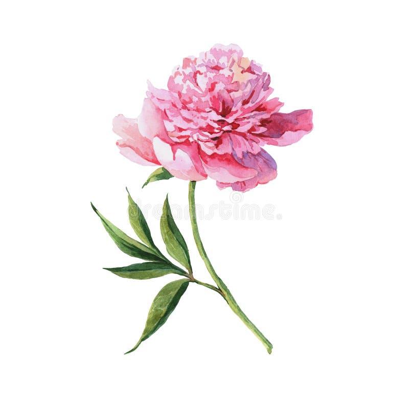 Peônias da flor do rosa da aquarela do vintage, folhas, ramos, ilustração da aquarela ilustração stock