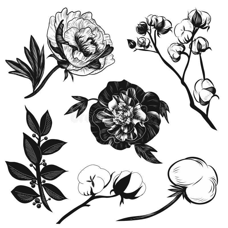 Peônias do illustratione do vetor, algodão e preto e branco do grupo das folhas de louro isolados no fundo branco para anunciar ilustração do vetor