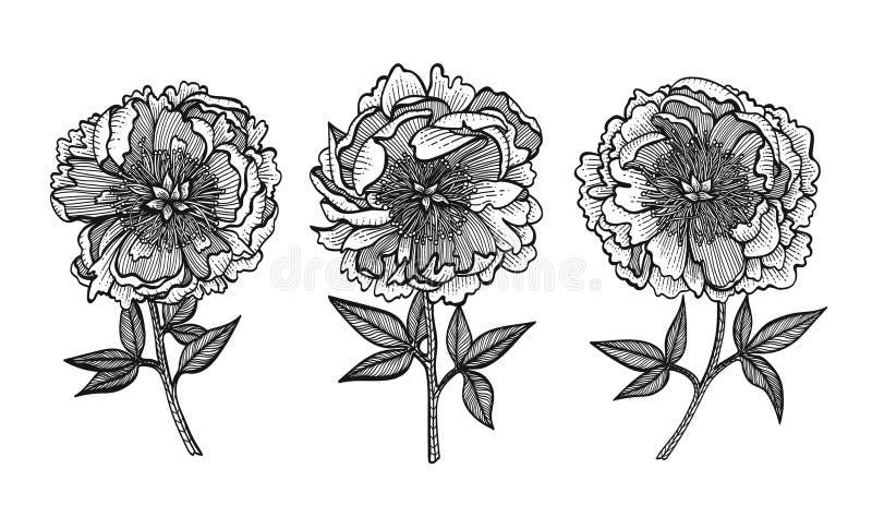 peônias do Mão-desenho Flores do gráfico de vetor Projete elementos para convites, cartões do casamento, papel de envolvimento ilustração royalty free