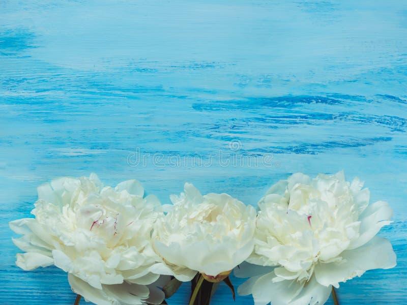 Peônias, espaço para suas inscrição em um fundo azul fotos de stock
