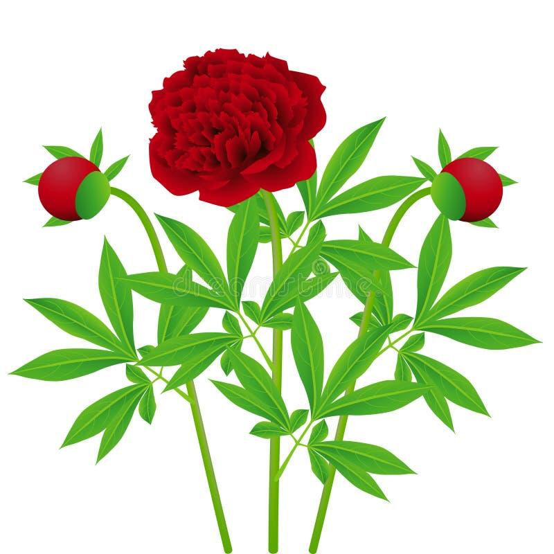 Peônias vermelhas das flores com folhas em um fundo branco ilustração royalty free