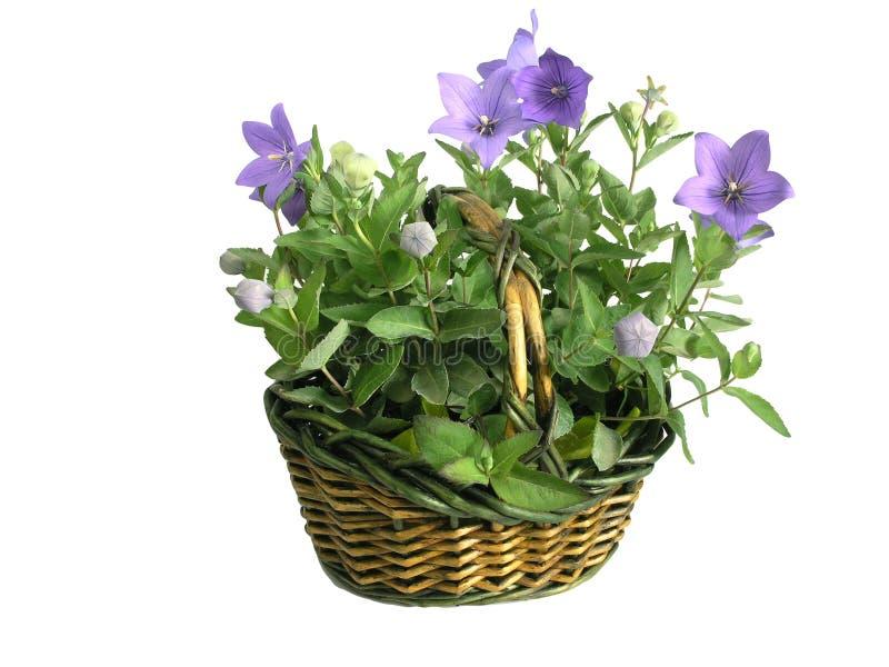 pełen kwiatów koszykowych pojedynczy obrazy royalty free