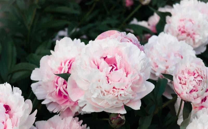 Pełen wdzięku delikatne różowe kwitnące peonie w ogrodowym zbliżeniu fotografia stock