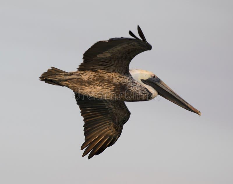 Pełen wdzięku, Strzelisty pelikan, obraz stock