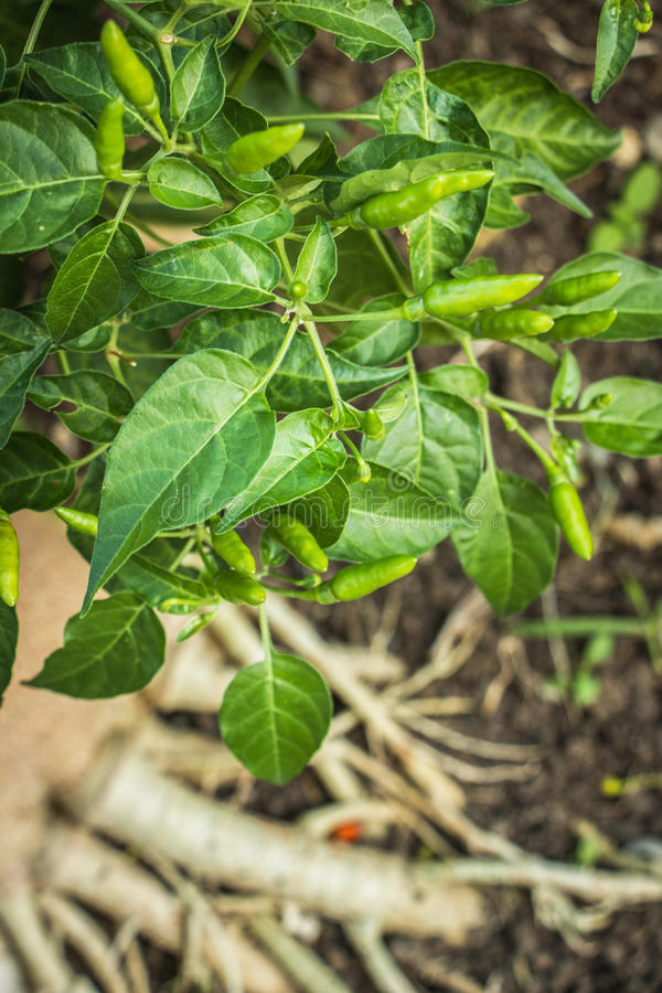 Pełni skutki chili drzewo fotografia stock