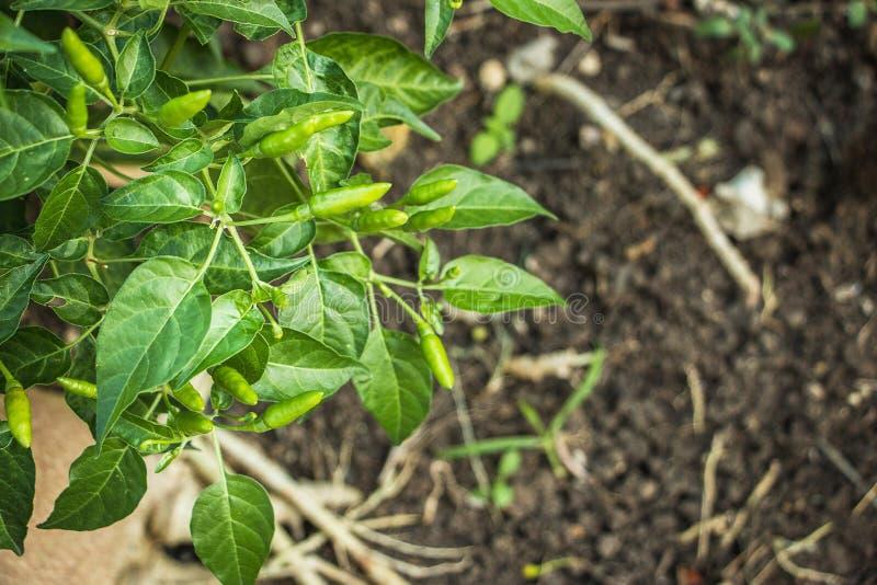 Pełni skutki chili drzewo zdjęcia stock