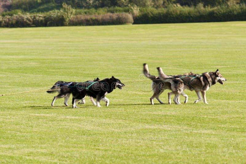 Pełnozamachowi psy fotografia stock