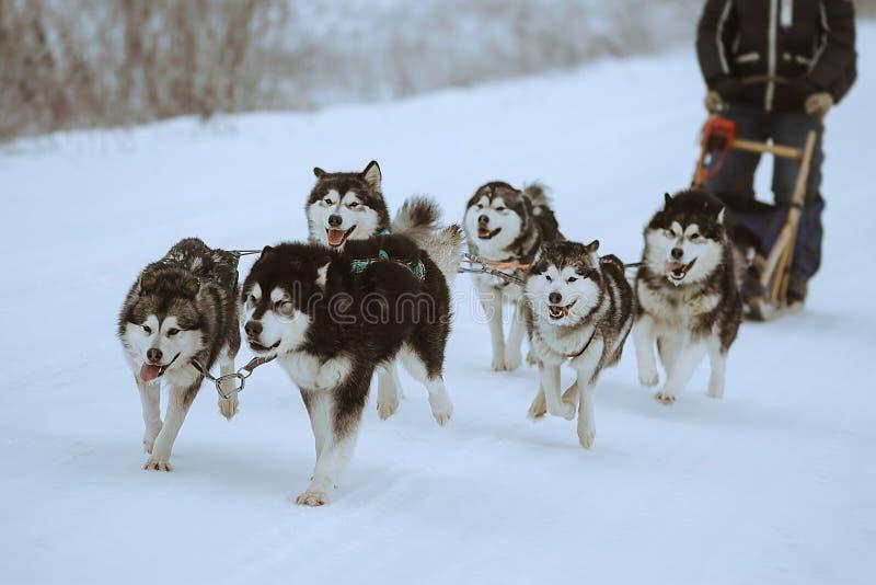 Pełnozamachowi psy obrazy royalty free