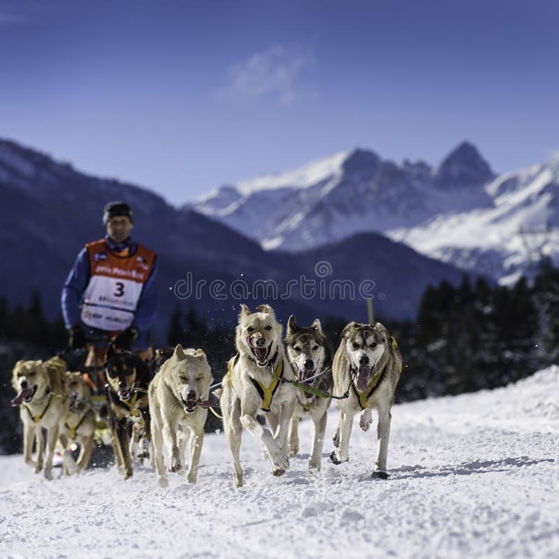 Pełnozamachowi psy w prędkości ścigać się obrazy royalty free