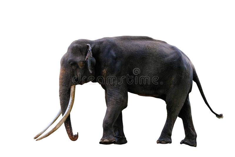 Pełny ciało azjatykci słoń odizolowywał białego tło fotografia royalty free
