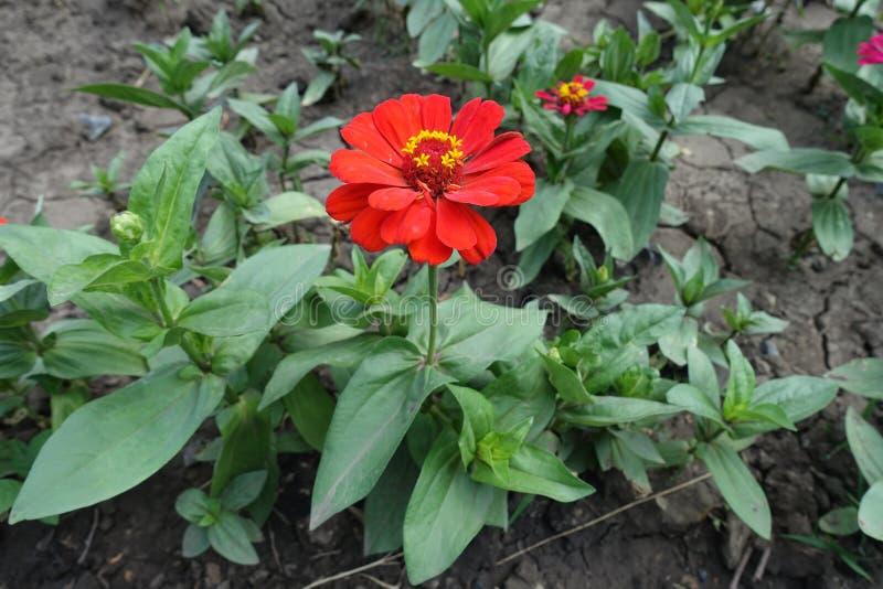 Pełny długość widok cynie z czerwoną kwiat głową obraz stock