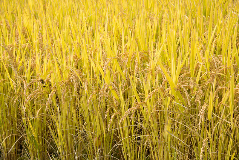 Pełny dojrzewa ryż w jesieni obrazy royalty free