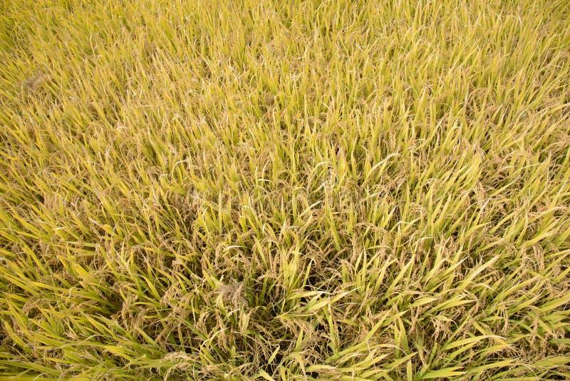 Pełny dojrzewa złotego ryżowego irlandczyka w jesieni obrazy royalty free
