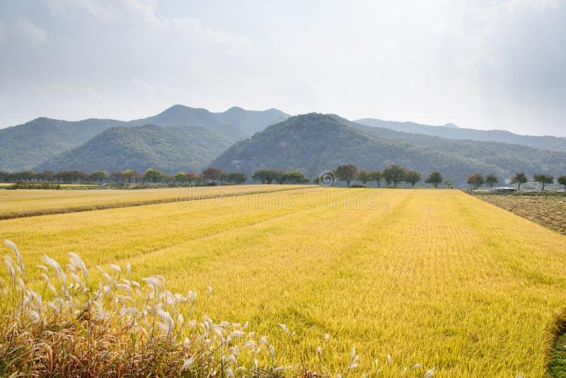 Pełny dojrzewa złotego ryżowego irlandczyka w jesieni zdjęcie stock