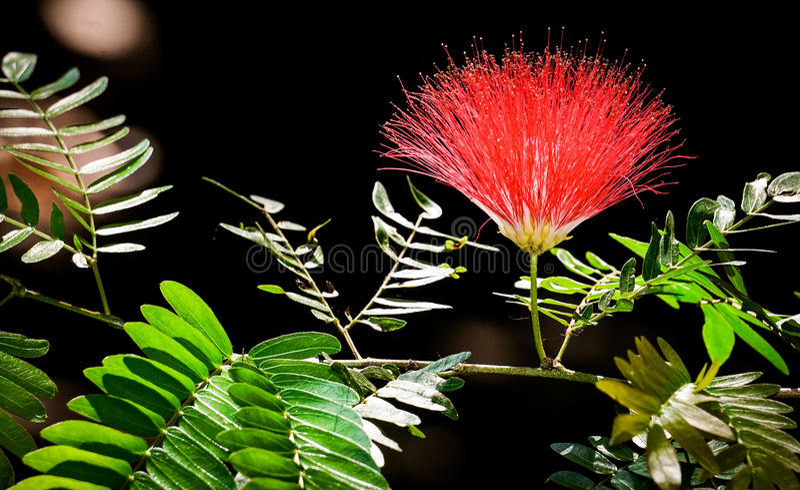 Pełny Kwitnący Raintree kwiat fotografia stock